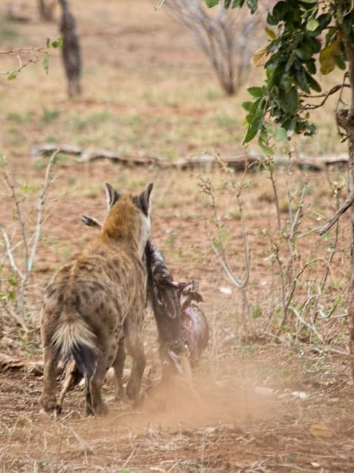 hyena snatching a kill in kruger